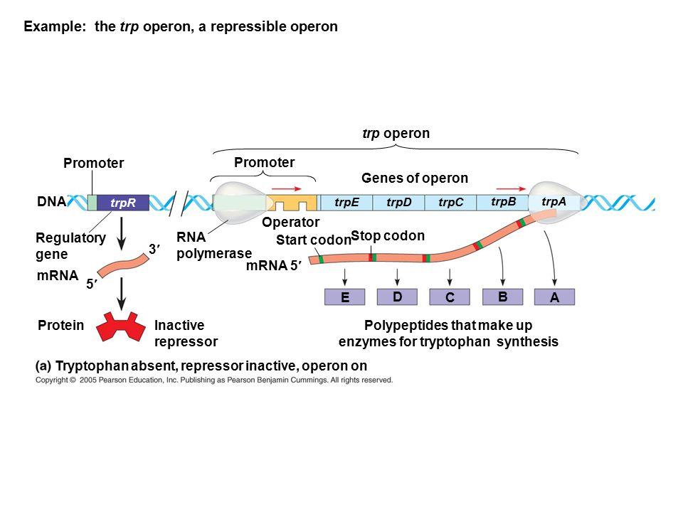 Example: the trp operon, a repressible operon