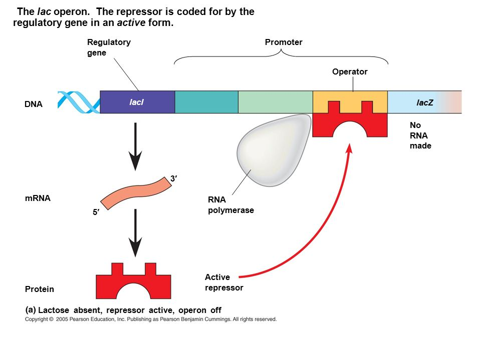 The lac operon. The repressor is coded for by the regulatory gene in an active form.
