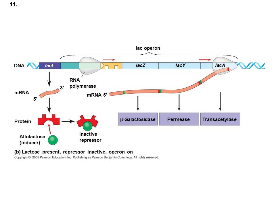 11. lac operon DNA lacl lacZ lacY lacA RNA polymerase 3¢ mRNA mRNA 5¢