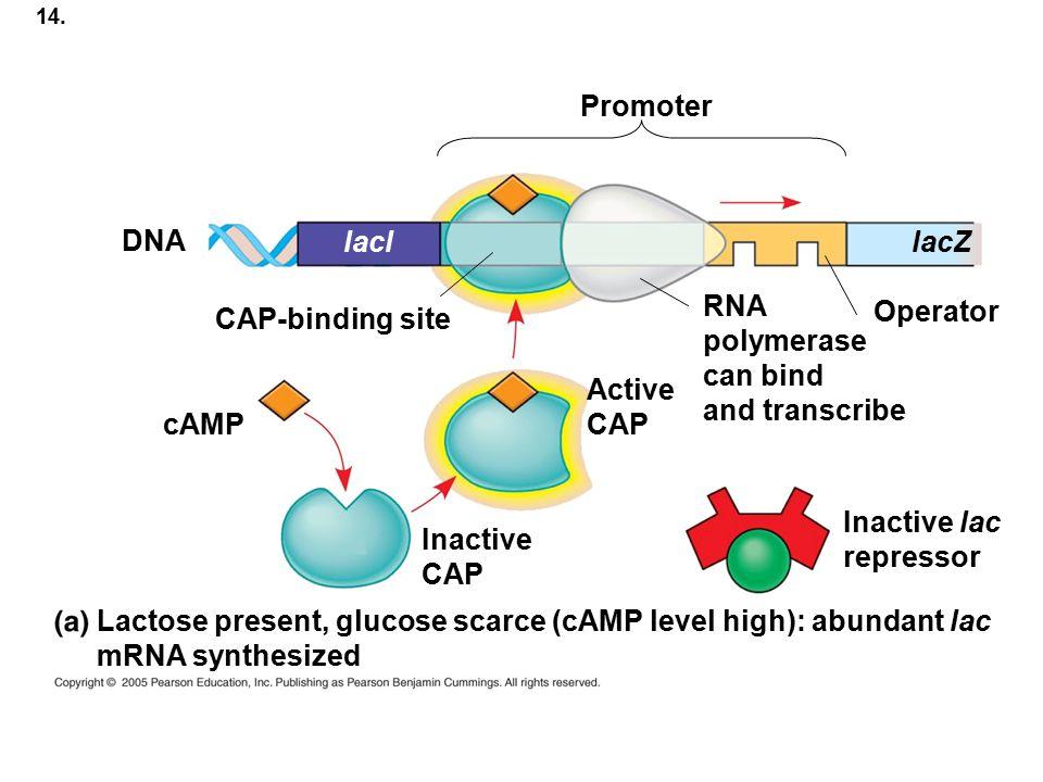 Lactose present, glucose scarce (cAMP level high): abundant lac