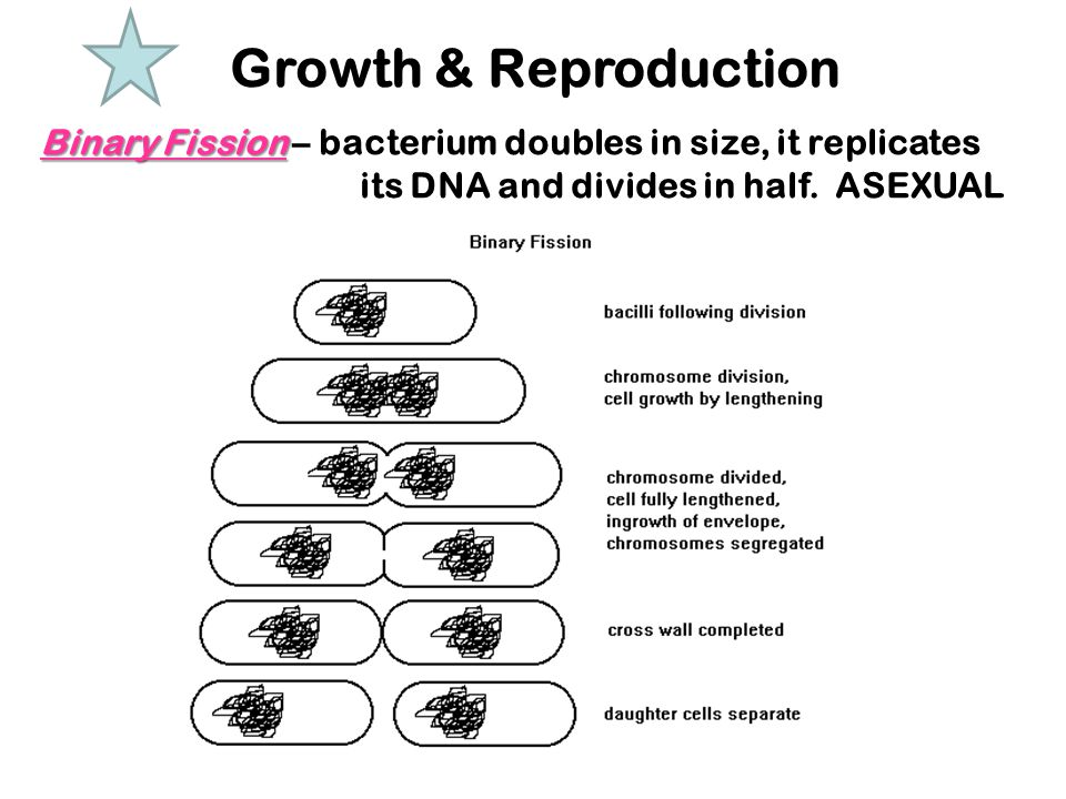 Growth & Reproduction Binary Fission – bacterium doubles in size, it replicates its DNA and divides in half.