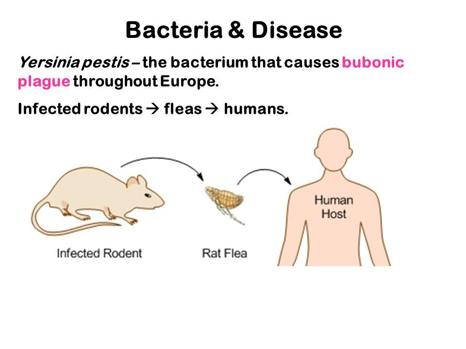 Bacteria & Disease Yersinia pestis – the bacterium that causes bubonic plague throughout Europe.
