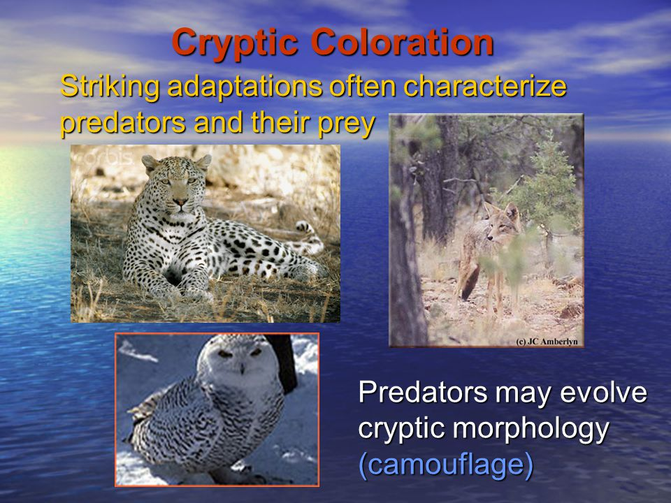 Cryptic Coloration Striking adaptations often characterize predators and their prey.