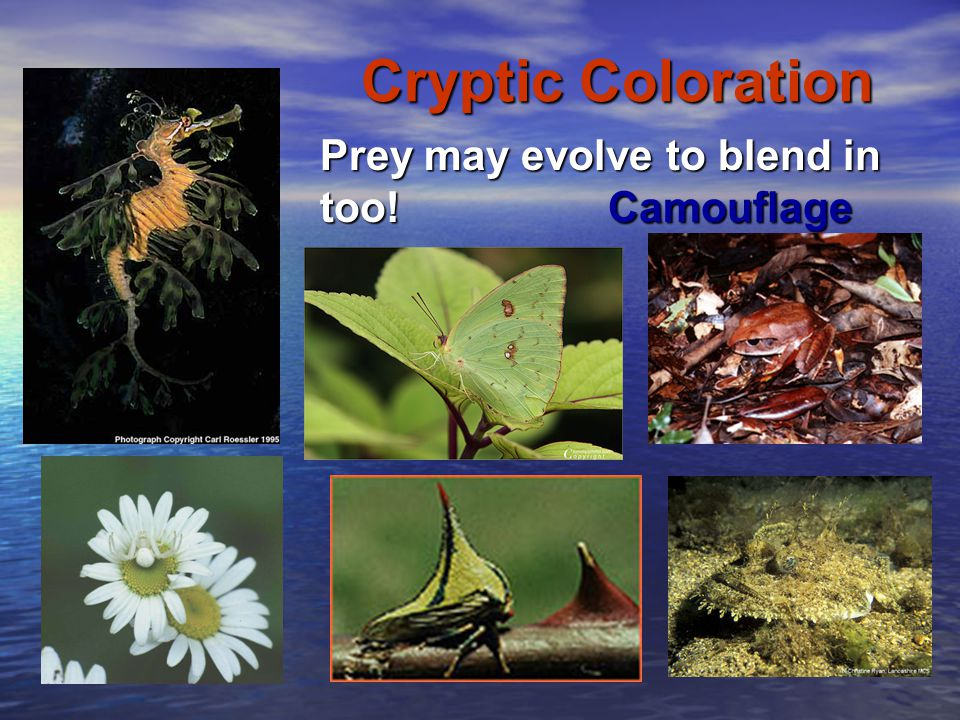 Cryptic Coloration Prey may evolve to blend in too! Camouflage