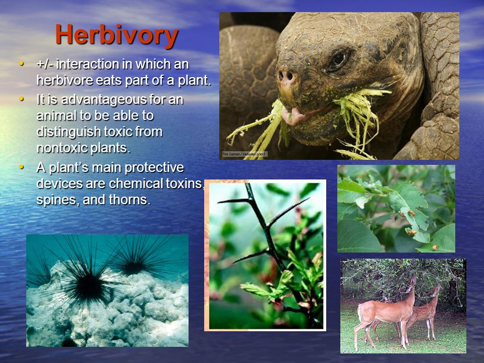 Herbivory +/- interaction in which an herbivore eats part of a plant.