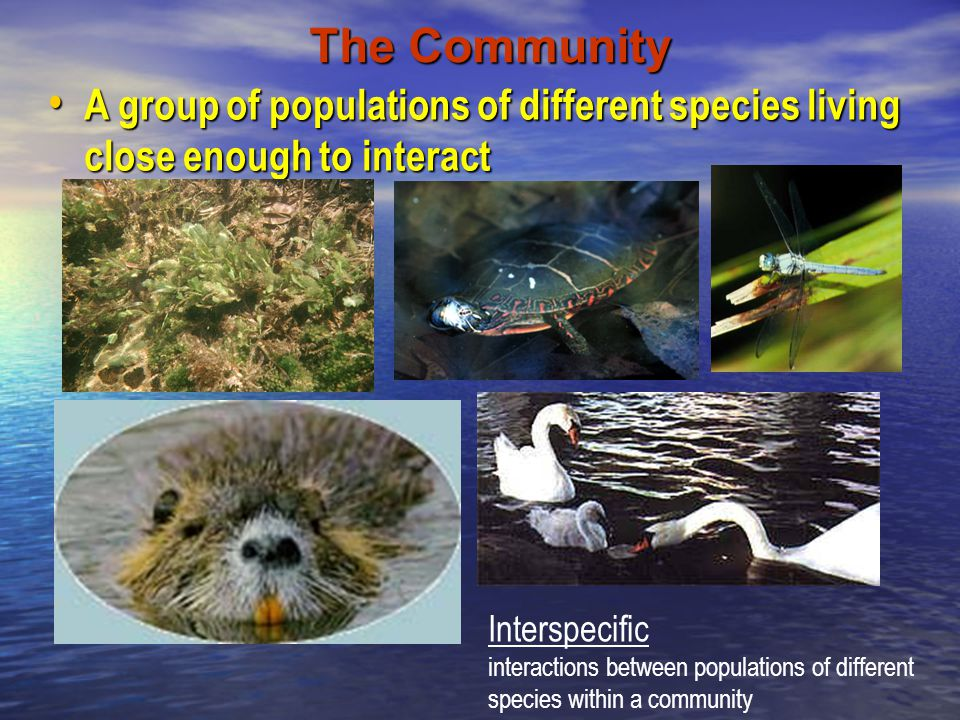 The Community A group of populations of different species living close enough to interact. Interspecific.