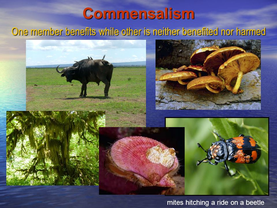 Commensalism One member benefits while other is neither benefited nor harmed.