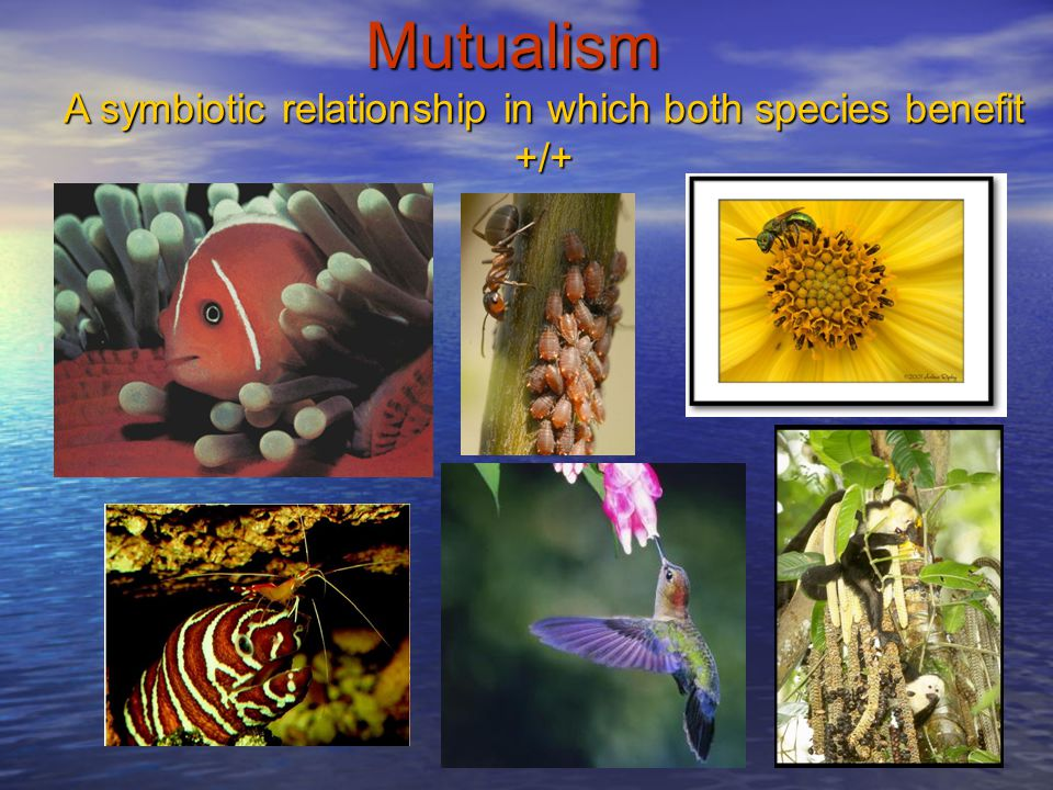 A symbiotic relationship in which both species benefit +/+