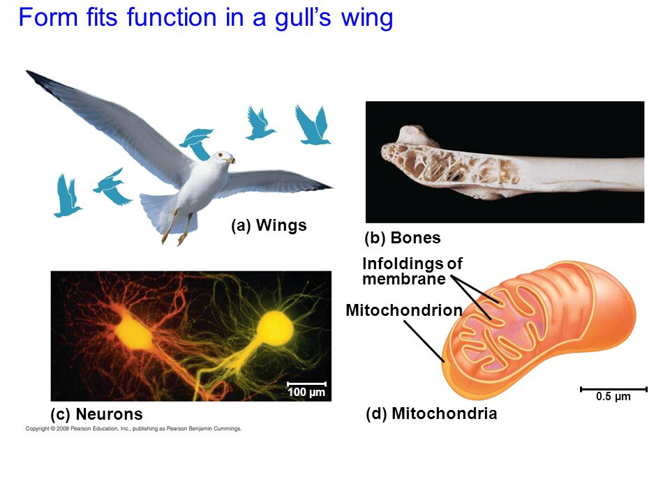 Form fits function in a gull's wing