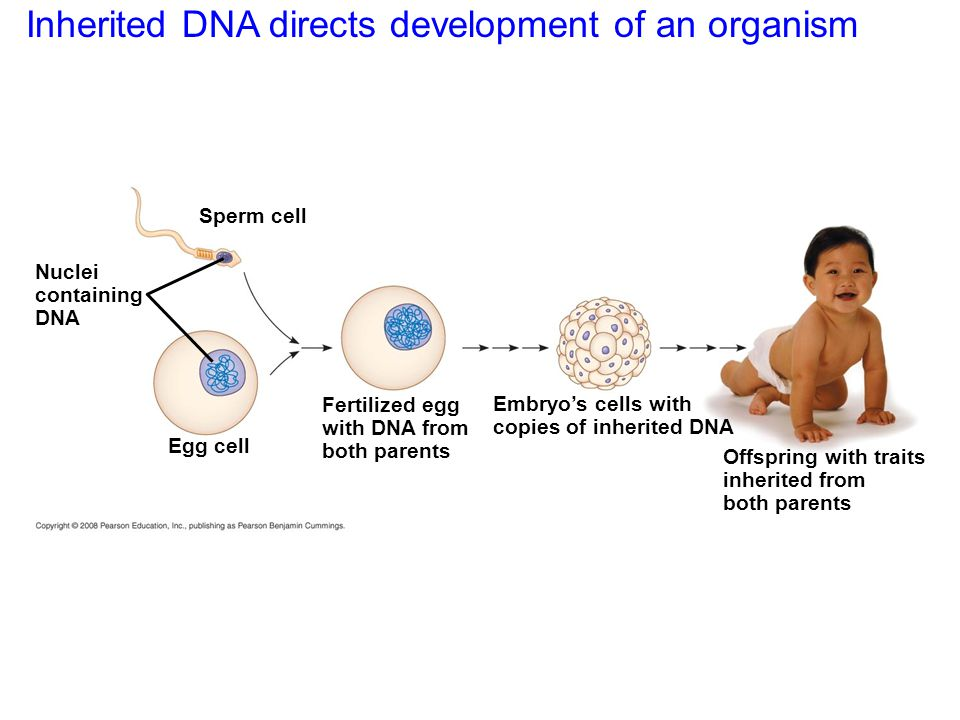 Inherited DNA directs development of an organism