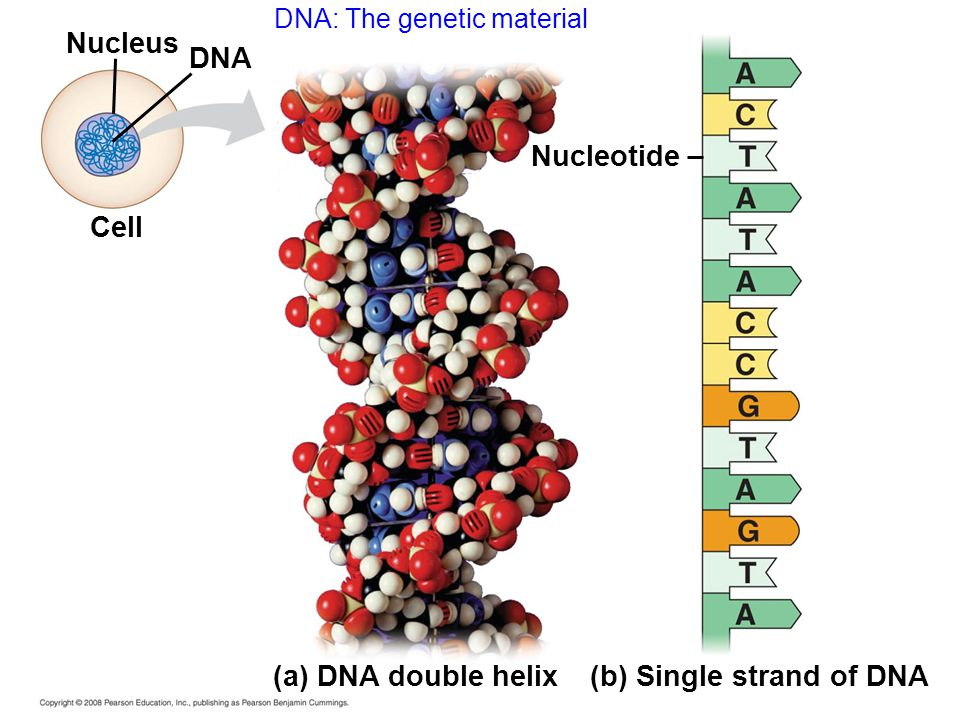 (b) Single strand of DNA