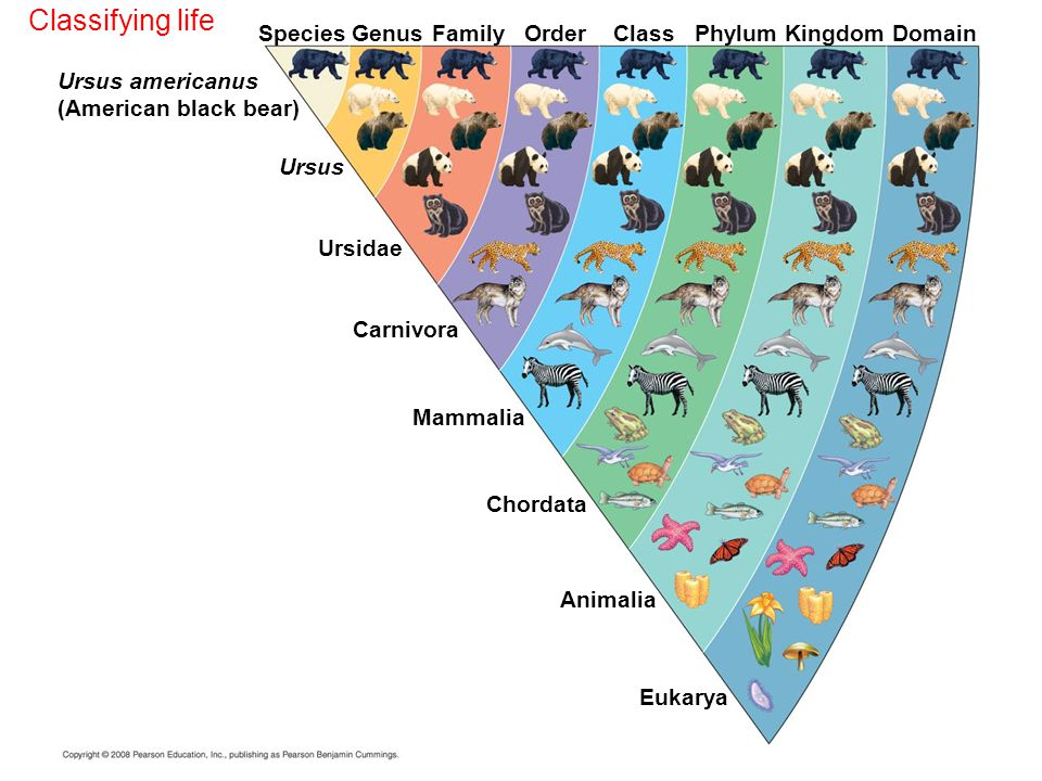 Classifying life Species Genus Family Order Class Phylum Kingdom