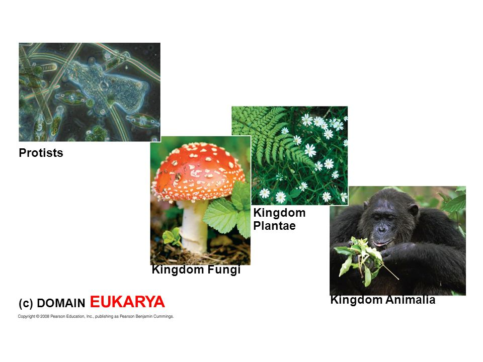 Protists Kingdom Plantae Kingdom Fungi (c) DOMAIN EUKARYA