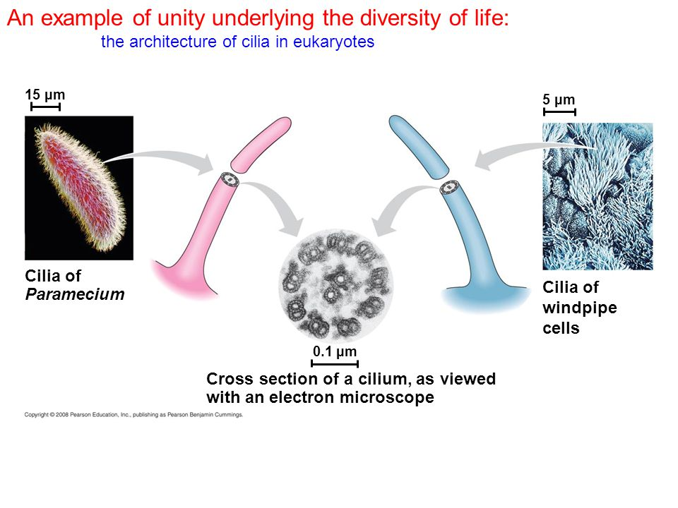 An example of unity underlying the diversity of life: