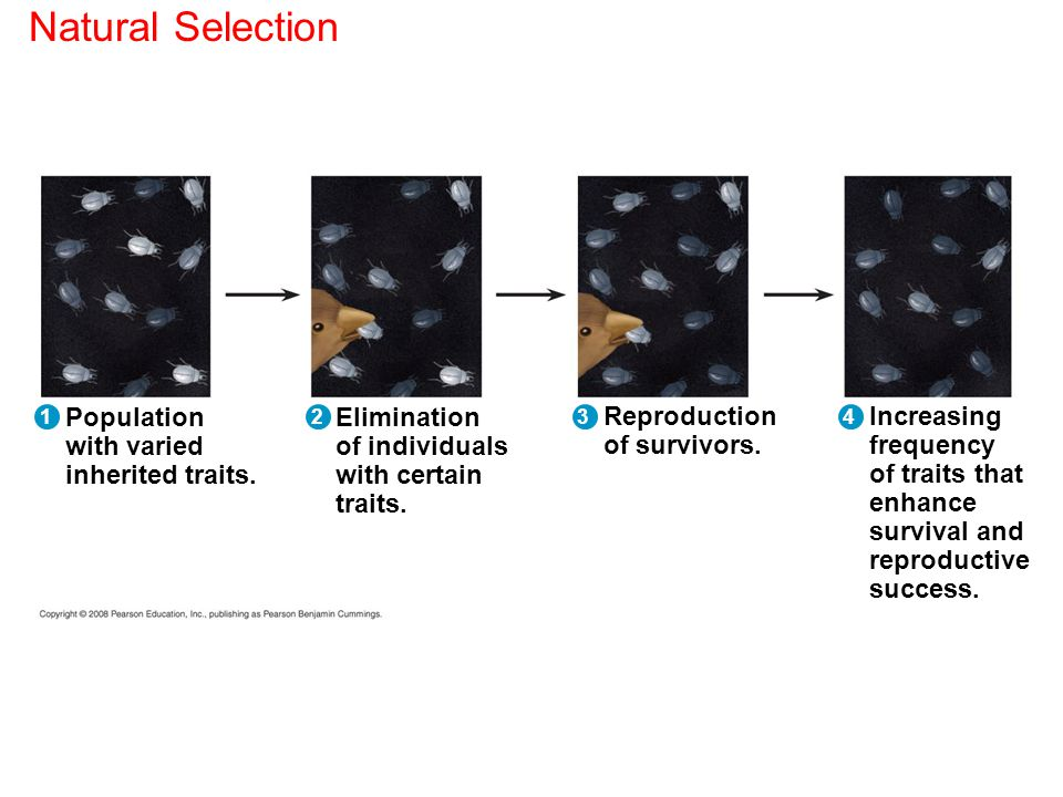 Natural Selection Population with varied inherited traits. Elimination
