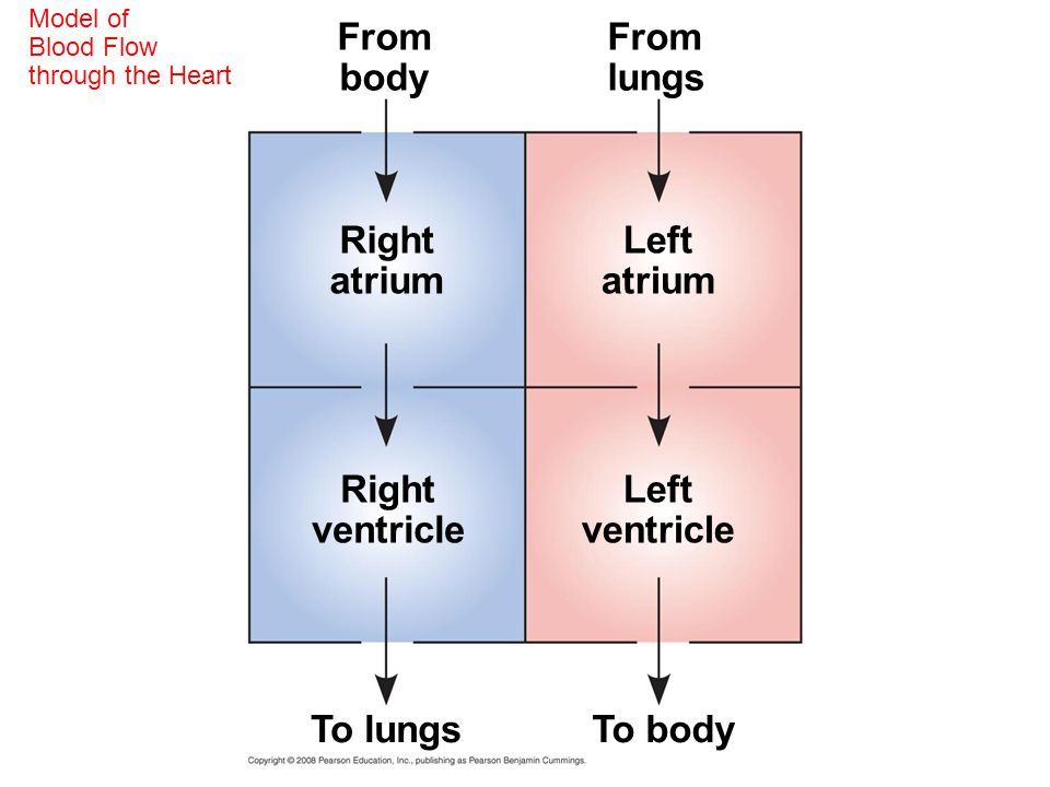 From body From lungs Right atrium Left atrium Right ventricle Left