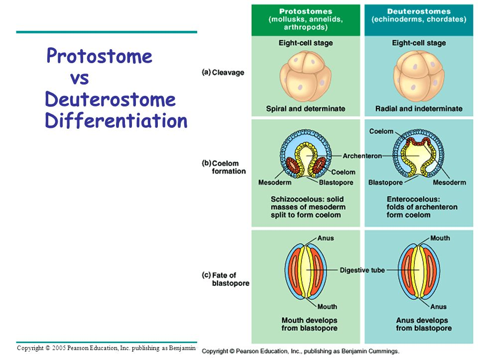 Protostome vs Deuterostome Differentiation