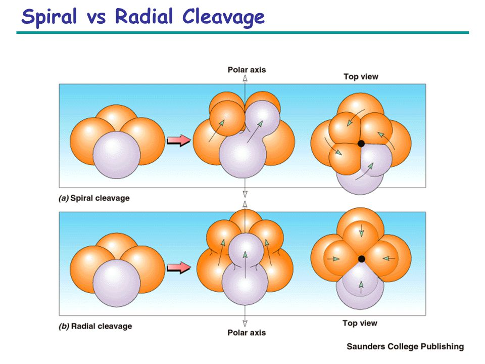 Spiral vs Radial Cleavage