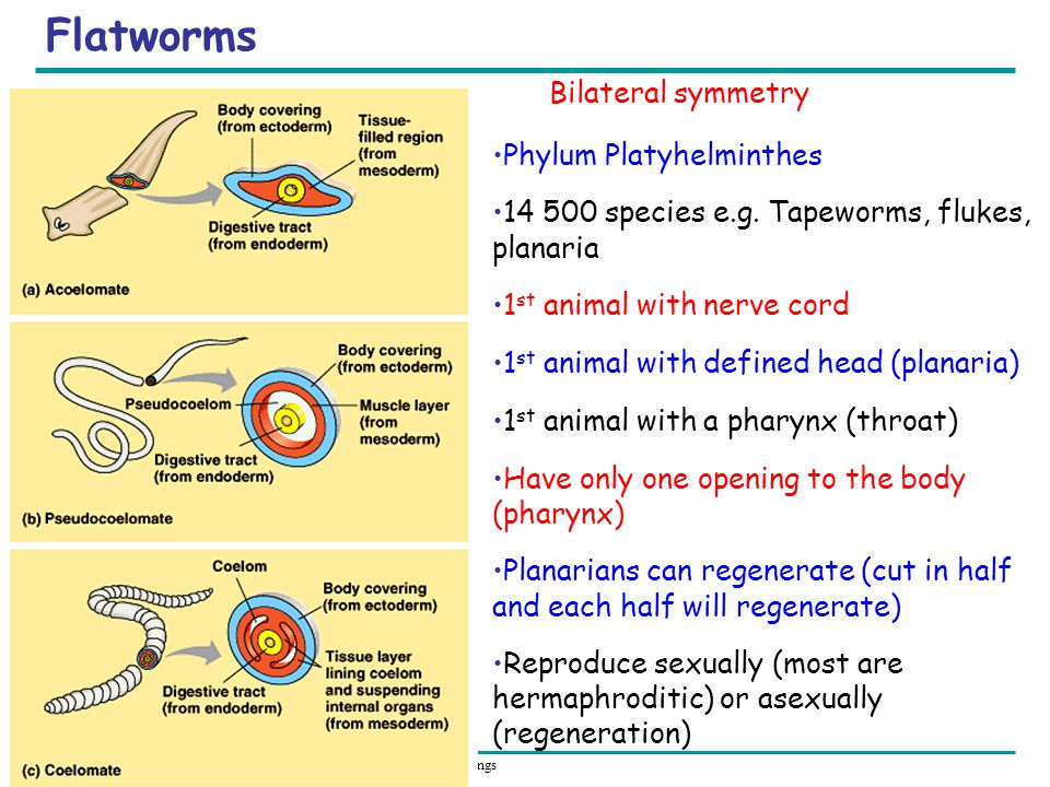 Flatworms Bilateral symmetry Phylum Platyhelminthes