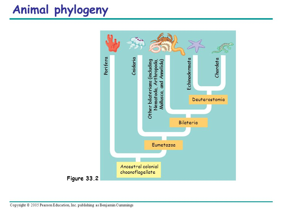 Animal phylogeny Figure 33.2 Ancestral colonial choanoflagellate