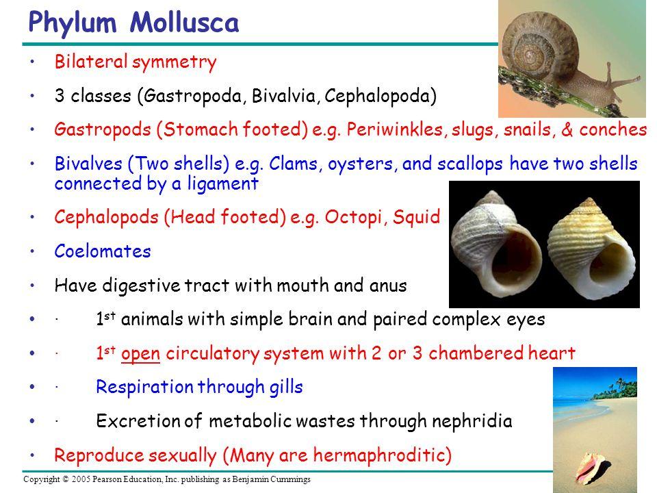 Phylum Mollusca Bilateral symmetry