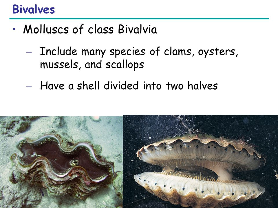 Molluscs of class Bivalvia