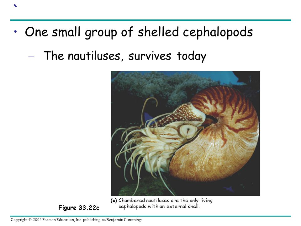 One small group of shelled cephalopods