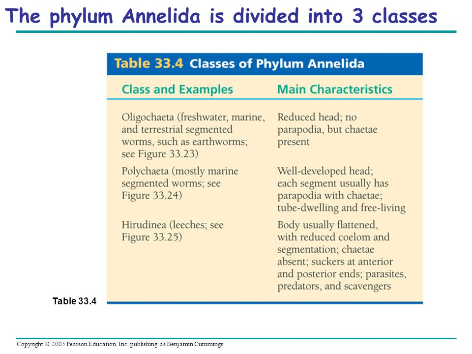 The phylum Annelida is divided into 3 classes