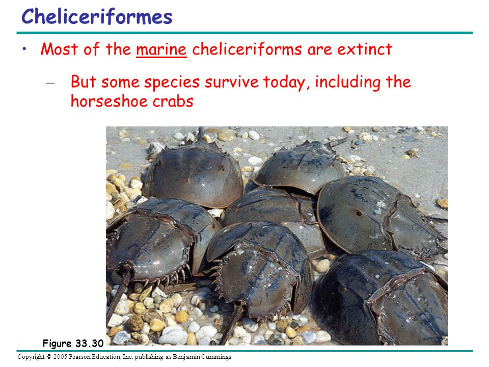 Cheliceriformes Most of the marine cheliceriforms are extinct