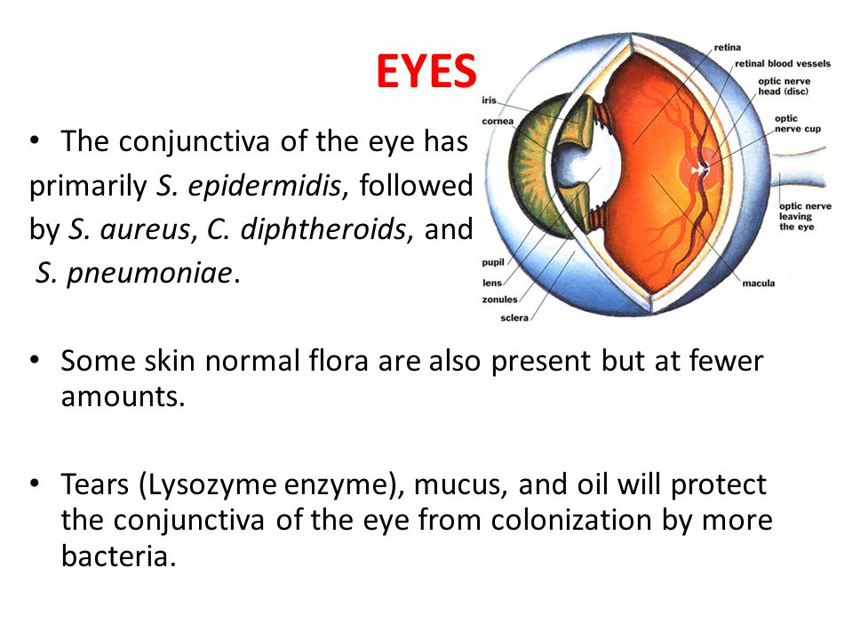 EYES The conjunctiva of the eye has primarily S. epidermidis, followed