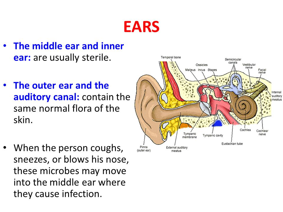 EARS The middle ear and inner ear: are usually sterile.