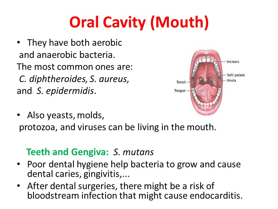 Oral Cavity (Mouth) Teeth and Gengiva: S. mutans