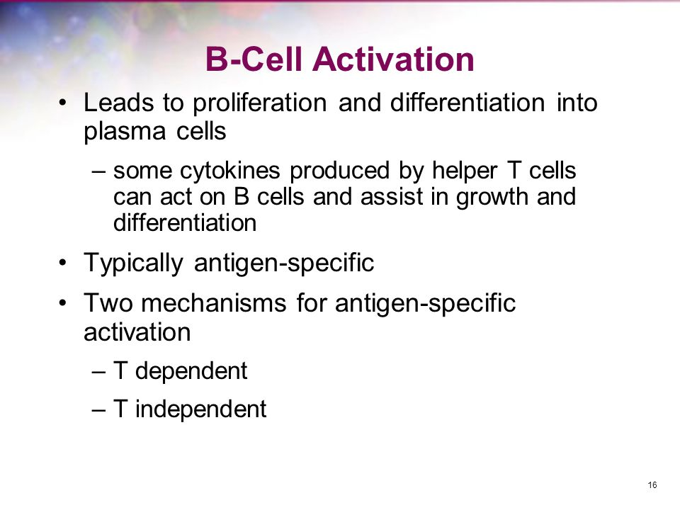 B-Cell Activation Leads to proliferation and differentiation into plasma cells.