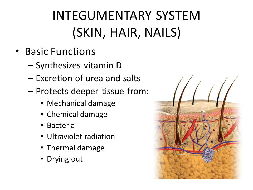 Unique Integumentary System Hair Embellishment - Human Anatomy ...