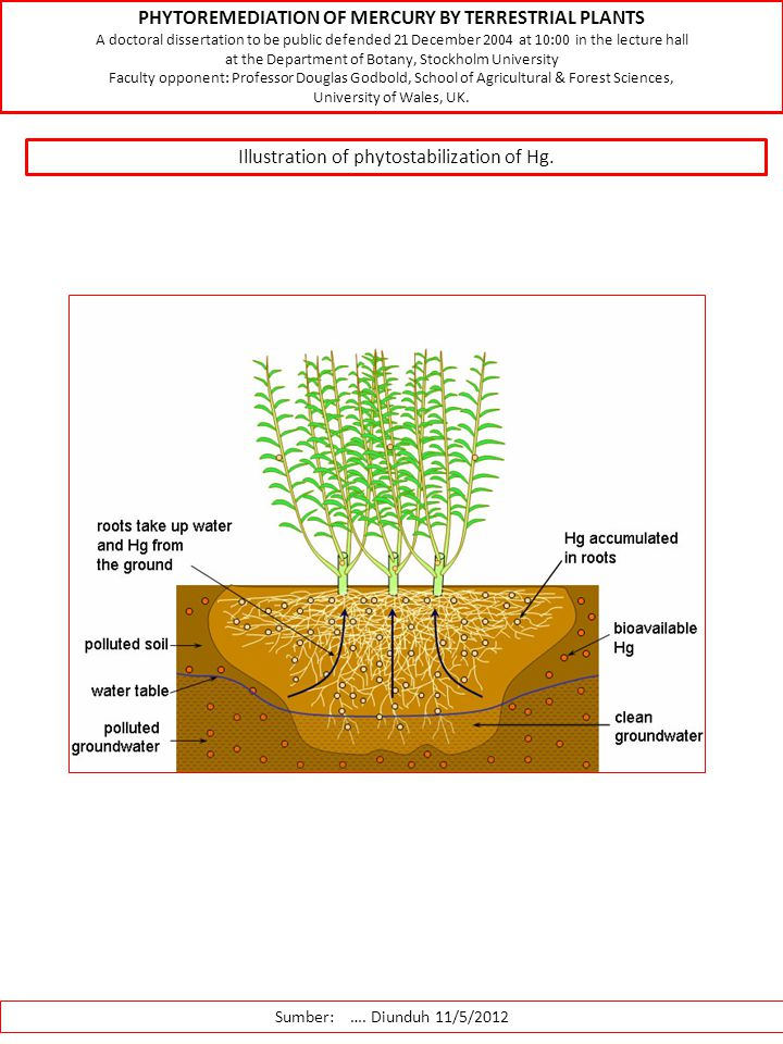 PHYTOREMEDIATION OF MERCURY BY TERRESTRIAL PLANTS