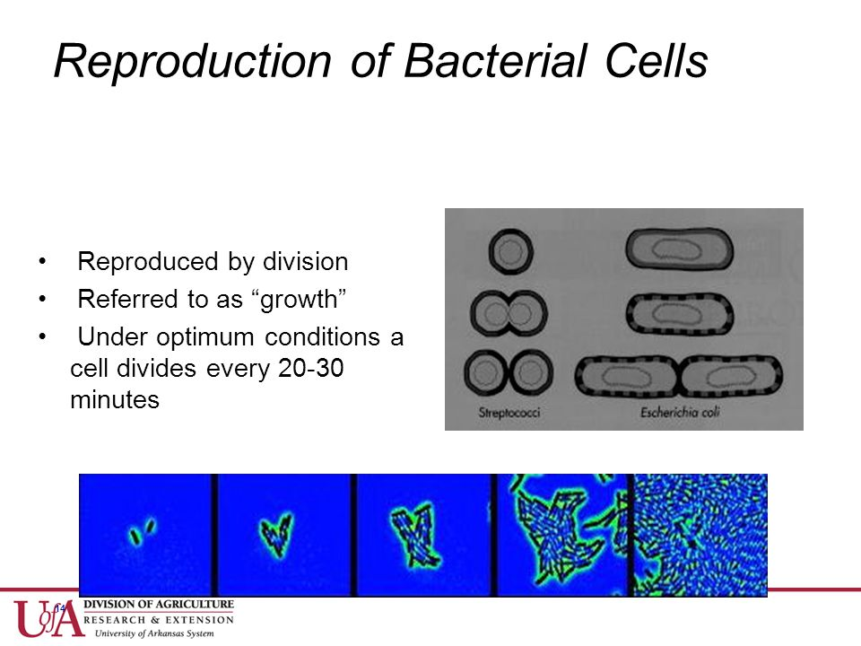 Reproduction of Bacterial Cells