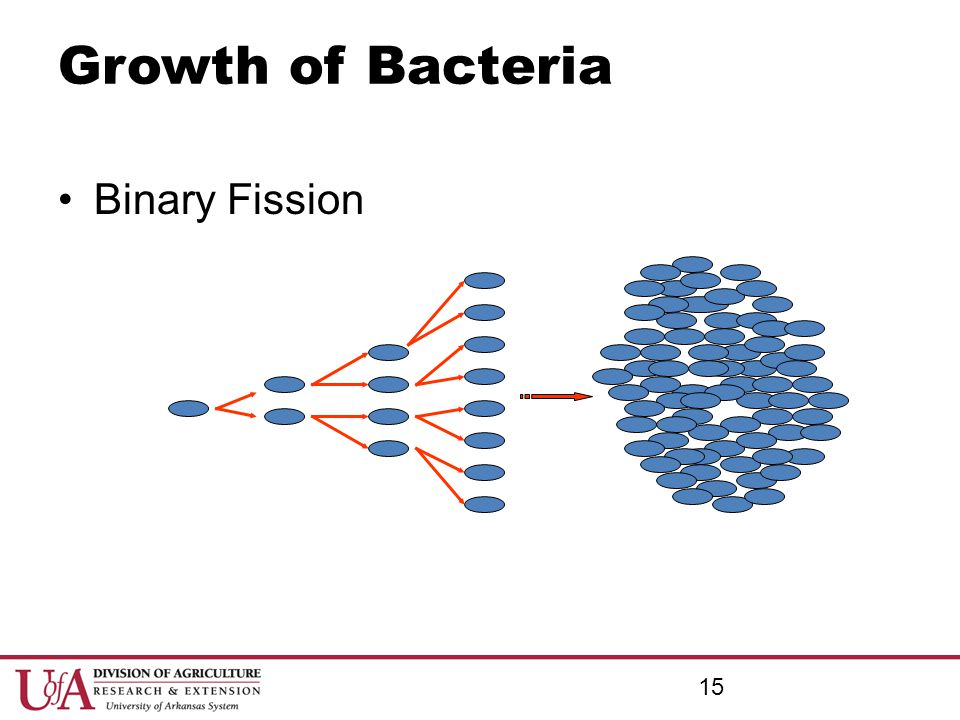Growth of Bacteria Binary Fission Growth of Bacteria Binary Fission