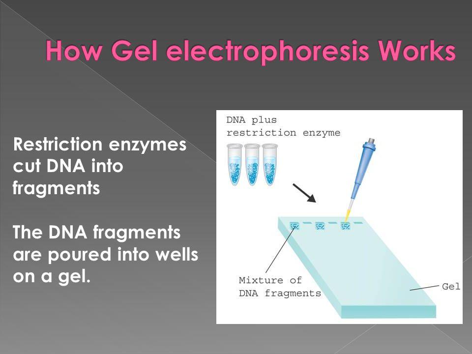 How Gel electrophoresis Works