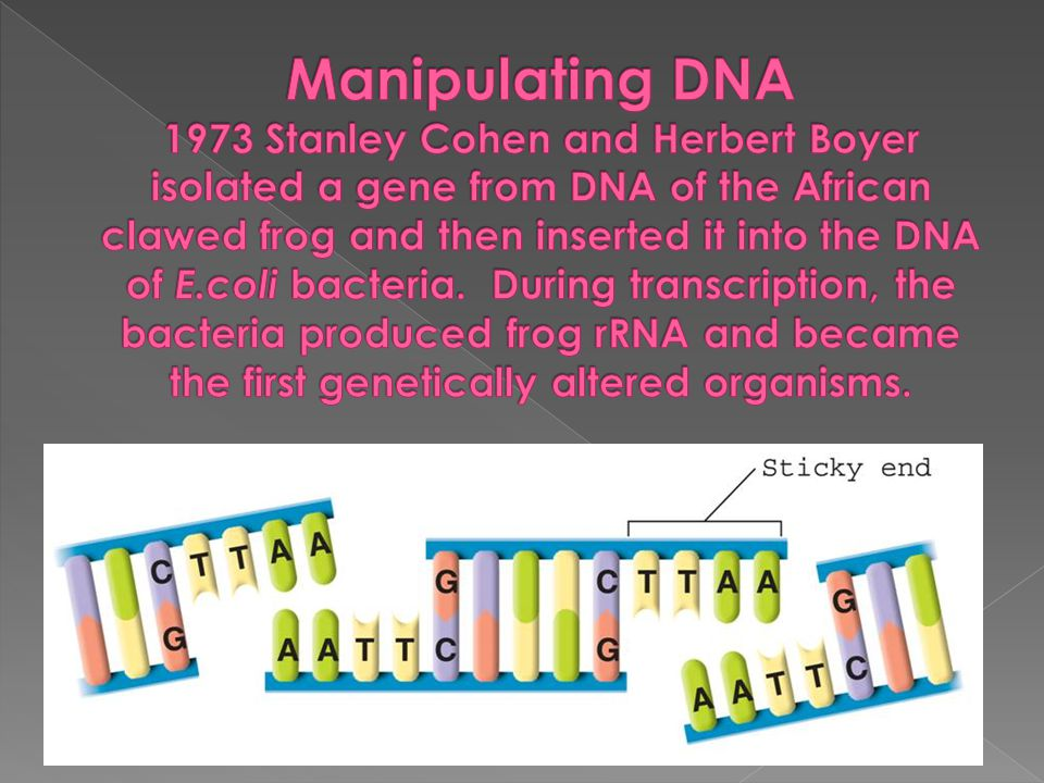 Manipulating DNA 1973 Stanley Cohen and Herbert Boyer isolated a gene from DNA of the African clawed frog and then inserted it into the DNA of E.coli bacteria.