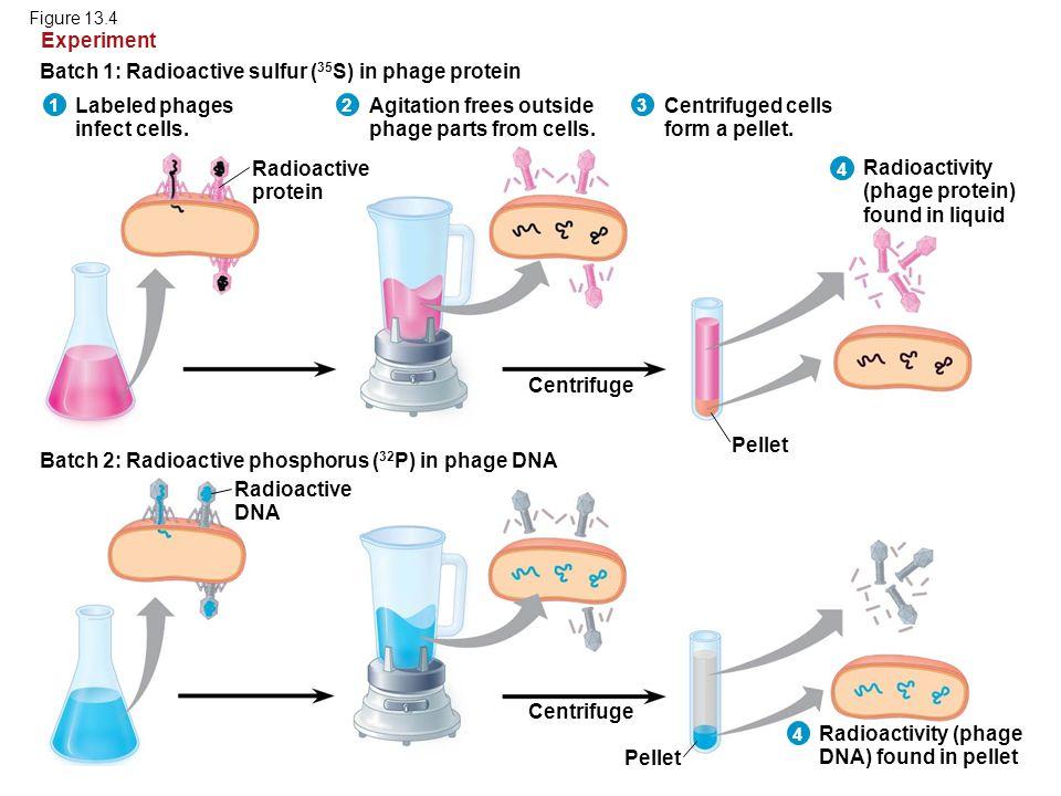 Batch 1: Radioactive sulfur (35S) in phage protein