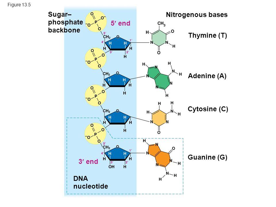 Sugar– Nitrogenous bases phosphate backbone 5 end Thymine (T)