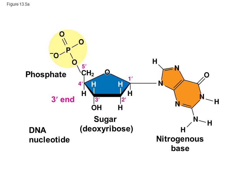 Sugar (deoxyribose) Nitrogenous base