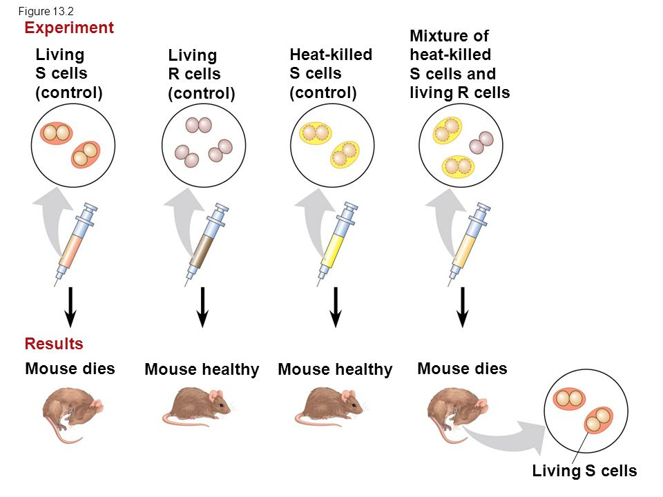 Experiment Mixture of heat-killed S cells and living R cells Living