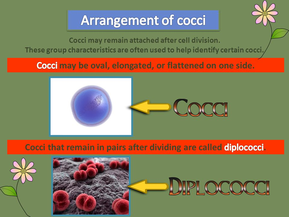 Cocci may remain attached after cell division.