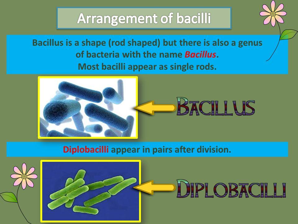 Arrangement of bacilli