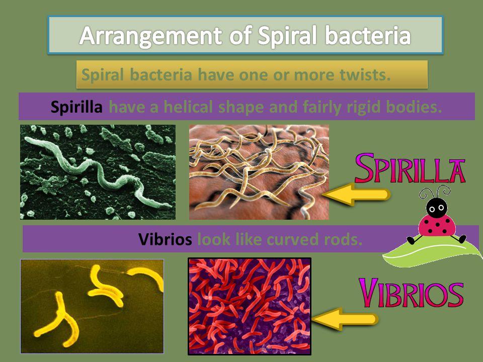 Arrangement of Spiral bacteria