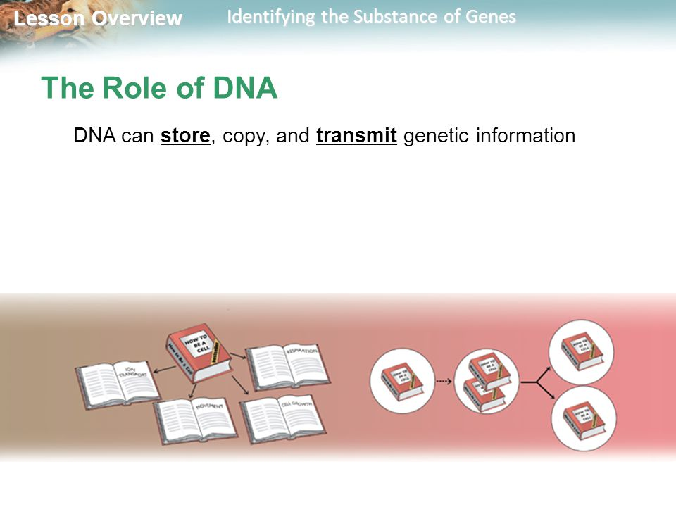 The Role of DNA DNA can store, copy, and transmit genetic information