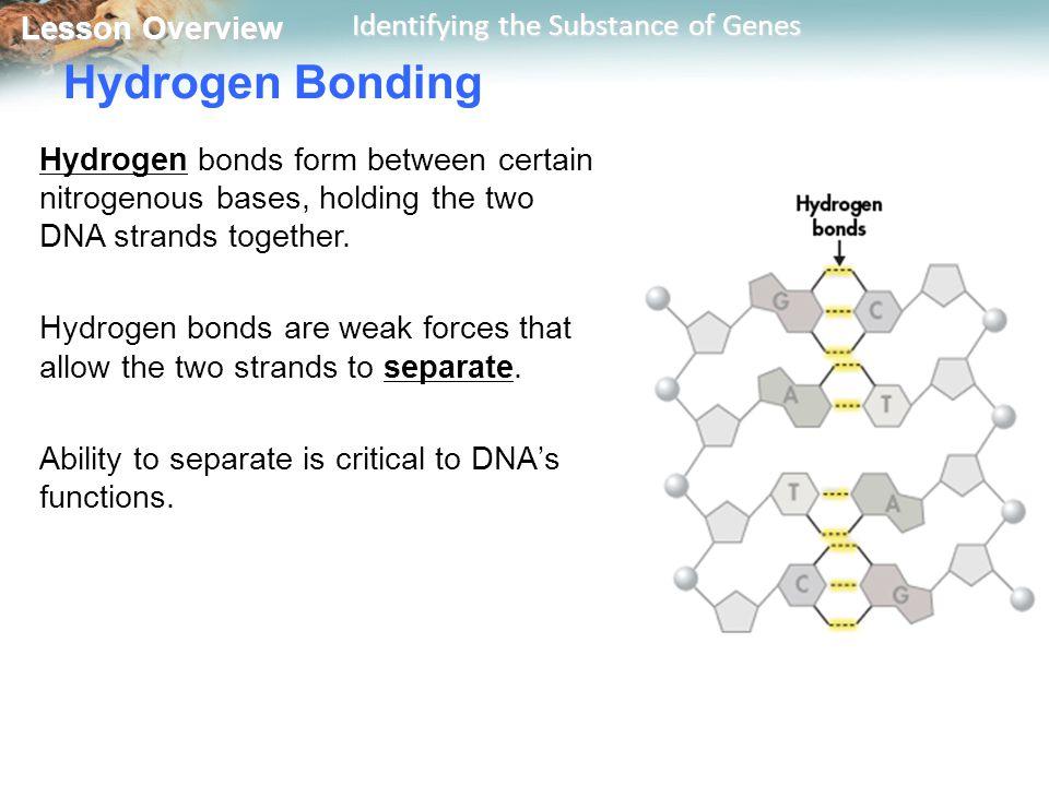 Hydrogen Bonding Hydrogen bonds form between certain nitrogenous bases, holding the two DNA strands together.