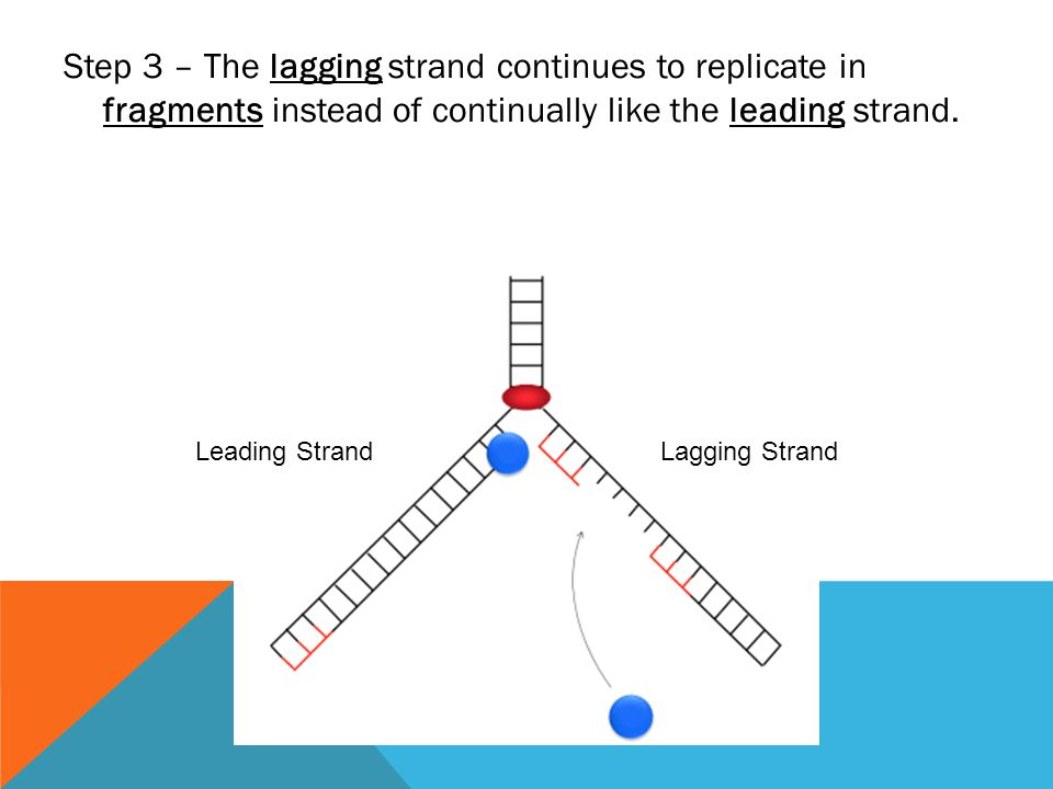 Step 3 – The lagging strand continues to replicate in fragments instead of continually like the leading strand.