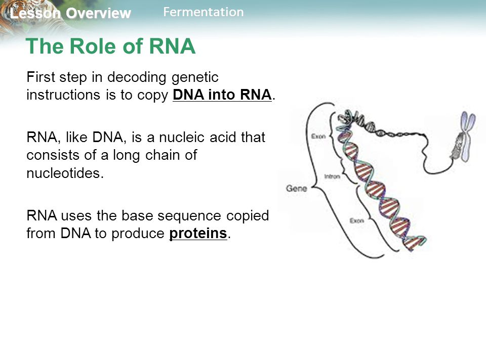 The Role of RNA First step in decoding genetic instructions is to copy DNA into RNA.